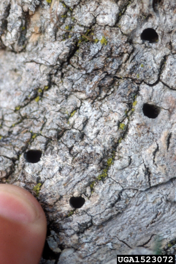 PHOTO: D-shaped exit hole left by adult ash borer.