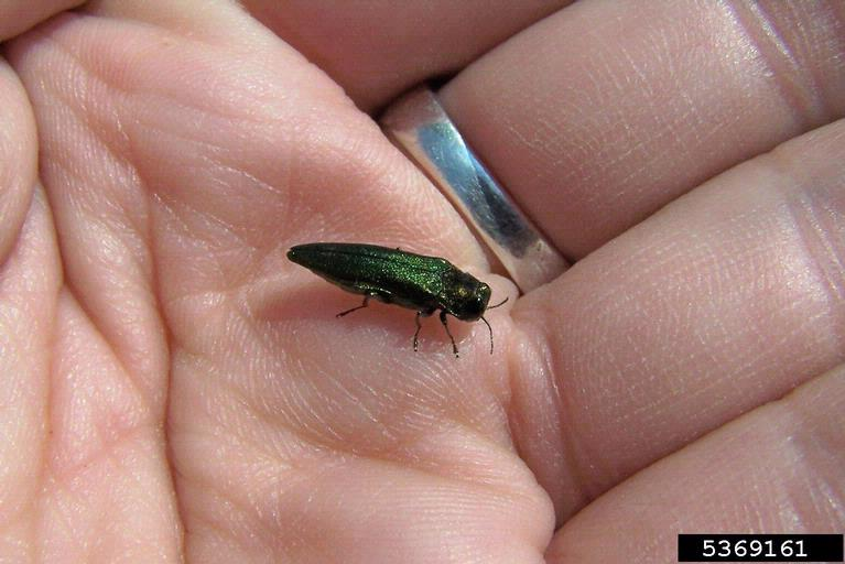 PHOTO: hand holding an adult emerald ash borer (for scale)