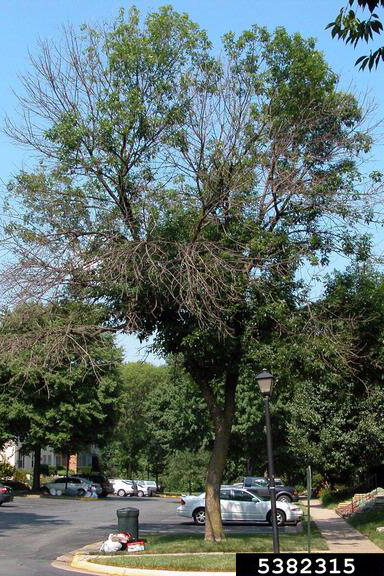 PHOTO: Tree canopy dieback caused by emerald ash borer.