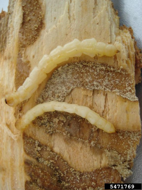 PHOTO: emerald ash borer larvae.