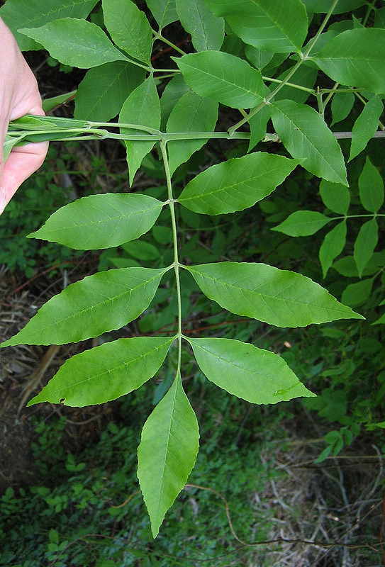 PHOTO: Fraxinus pennsylvanicus leaf (ash tree specimen)