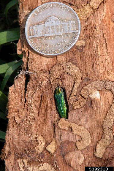 PHOTO: larval tunneling left by emerald ash borer.
