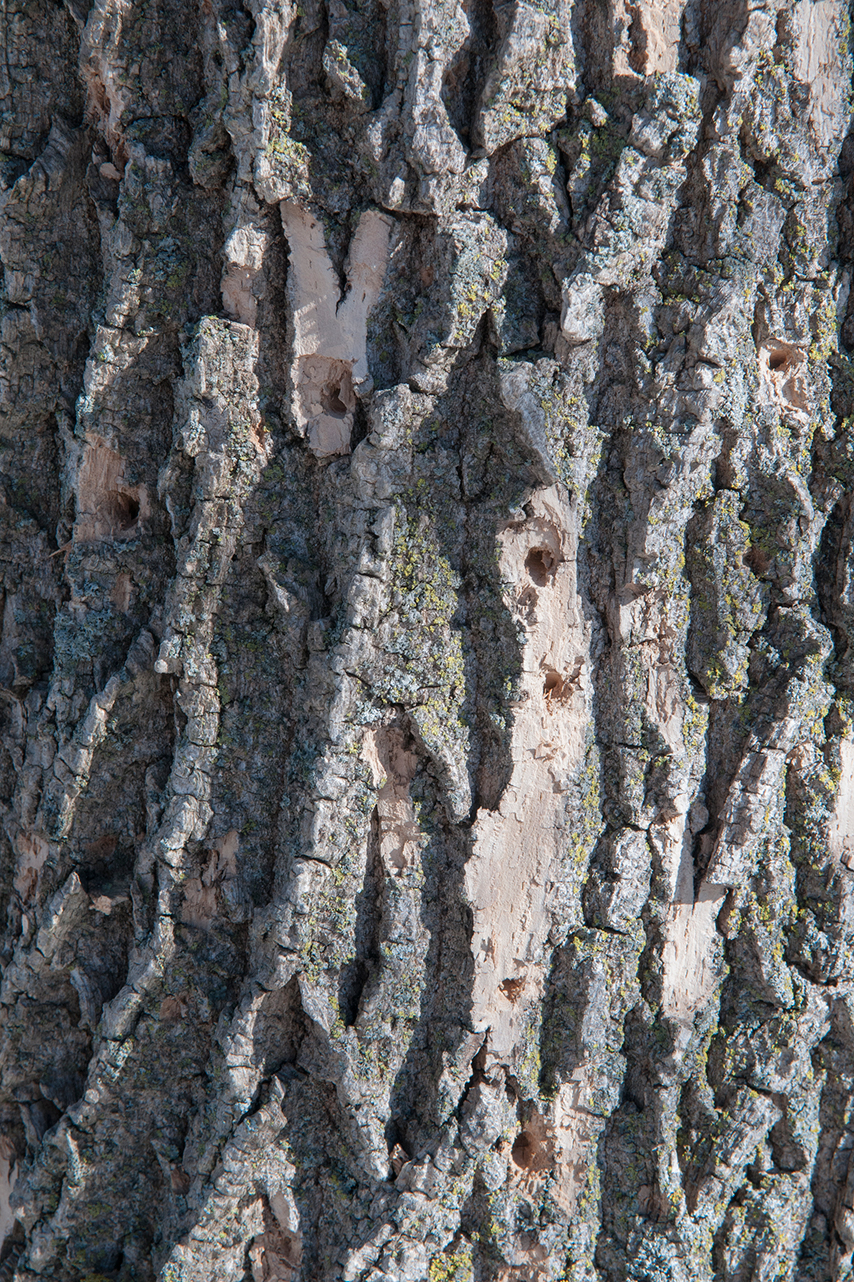 PHOTO: woodpecker damage from eab