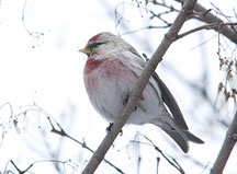 PHOTO: common redpoll