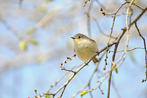 PHOTO: ruby crowned kinglet