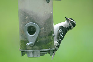 PHOTO: woodpecker at feeder