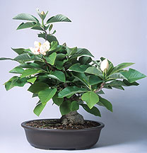 How Long Would It Take To Grow A Magnolia Cutting To This Size Bonsai