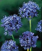 PHOTO: Allium caeruleum