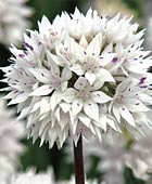 PHOTO: Allium 'Graceful'