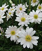 PHOTO: Anemone blanda 'White Splendour'