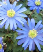 PHOTO: Anemone blanda 'Blue Shades'