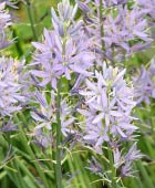 PHOTO: Camassia cusickii