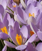 PHOTO: Crocus t. 'Barr's Purple'