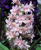 PHOTO: Hyacinthus orientalis 'Chestnut Flower'
