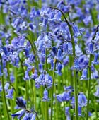 PHOTO: Hyacinthoides non-scripta