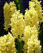 PHOTO: Hyacinthus orientalis 'City of Haarlem'