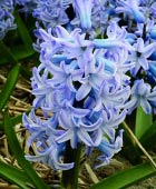 PHOTO: Hyacinthus orientalis 'Delft Blue'