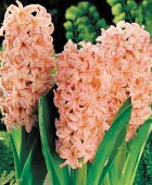 PHOTO: Hyacinthus orientalis 'Gypsy Queen'