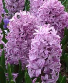 PHOTO: Hyacinthus orientalis 'Splendid Cornelia'