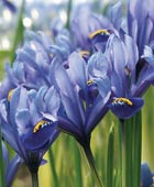 PHOTO: Iris reticulata 'Harmony'