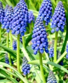 PHOTO: Muscari armeniacum