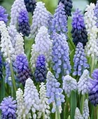 PHOTO: Muscari Mix