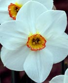 PHOTO: Narcissus 'Actaea'