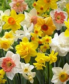 PHOTO: Narcissus Blend – All Spring Mix'