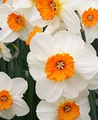 PHOTO: Narcissus 'Barrett Browning'