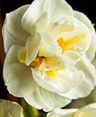 PHOTO: Narcissus 'Bridal Crown'