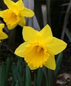 PHOTO: Narcissus 'Carlton'