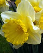 PHOTO: Narcissus 'Goblet'
