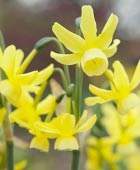 PHOTO: Narcissus 'Hawera'