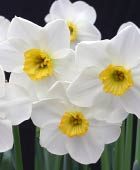 PHOTO: Narcissus 'Jamestown'