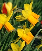 PHOTO: Narcissus 'Jetfire'