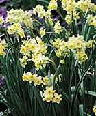 PHOTO: Narcissus 'Minnow'