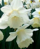PHOTO: Narcissus 'Mount Hood'