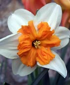 PHOTO: Narcissus 'Parisienne'