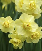 PHOTO: Narcissus 'Yellow Cheerfulness'