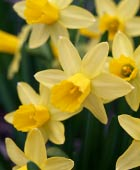 PHOTO: Narcissus 'February Gold'