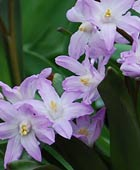 PHOTO: Scilla forbesii 'Pink Giant' class=