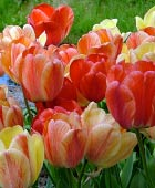 PHOTO: Tulipa 'Gudoshnik'