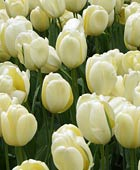 PHOTO: Tulipa 'Ivory Floridale'