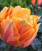 PHOTO: Tulipa 'Orange Princess'