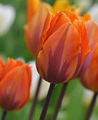 PHOTO: Tulipa 'Princess Irene'