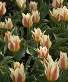 PHOTO: Tulipa 'Quebec'