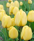 PHOTO: Tulipa 'Golden Apeldoorn'