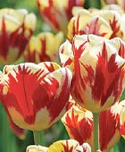 PHOTO: Tulipa 'Grand Perfection'