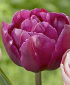 PHOTO: Tulipa 'Margarita''