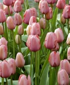 PHOTO: Tulipa 'Pink Impression'
